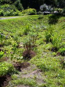 A rain garden (bioretention cell), the first day it was planted, Milton.