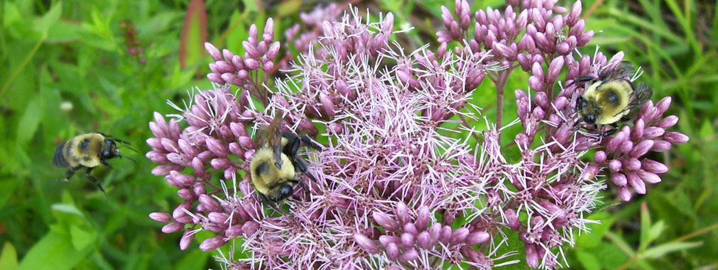 Native Joe-Pye weed flowers provide food for all kinds of pollinators.