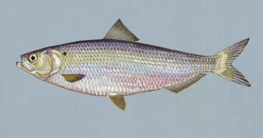 Blueback herring. Credit: USFWS.