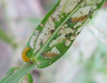 Larvae of Galerucella beetles feed on the leaf of a Purple loosestrife plant. Photo by Paul Lauenstein.