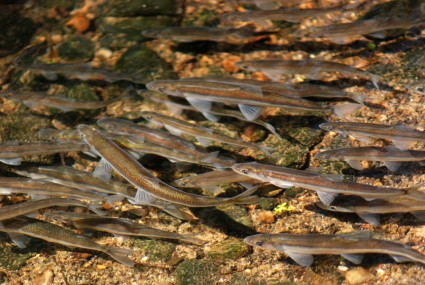 Smelt swim upstream from Neponset Estuary, along a creek in Milton, to spawn. March 30, 2012. Photo: Tom Palmer.