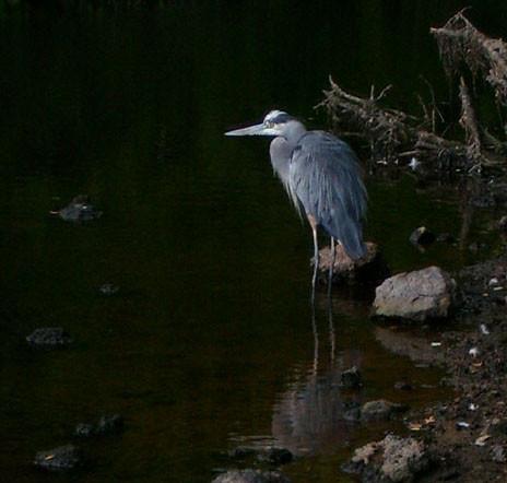 Great blue heron at Mother Brook, Hyde Park, September 15, 2010.