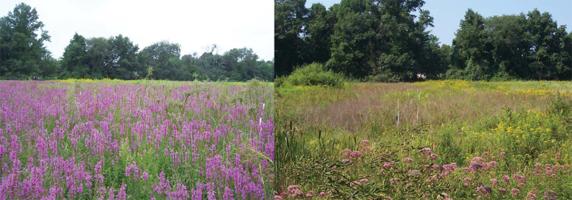 Purple loosestrife at Brookwood Farm: (left) August 2008, (right) August 2009.