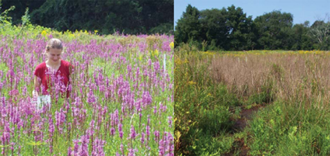 The Watershed Association partnered with DCR-South Region to release two species of beetle at three sites in order to help reduce and control exotic, invasive Purple loosestrife, thereby helping to conserve native biodiversity and wildlife habitat. Pictured is a treatment site at Brookwood Farm: (left) August 2008, (right) August 2009. In 2008, little effect was seen from the beetles, whereas in 2009, the beetles and their larvae had a significant impact on the loosestrife.