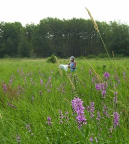 Volunteer releases Purple loosestrife biocontrol beetles in Fowl Meadow, 2012.