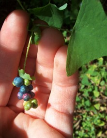 Exotic, invasive Mile-a-minute vine and fruits.