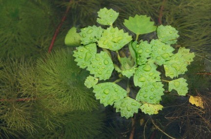 Water chestnut growing in Norwood. Photo: Tom Palmer, 2011.