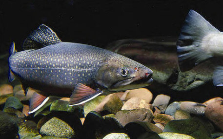 Eastern brook trout benefit from the colder, more highly oxygenated, cleaner water that results from removing dams from waterways.