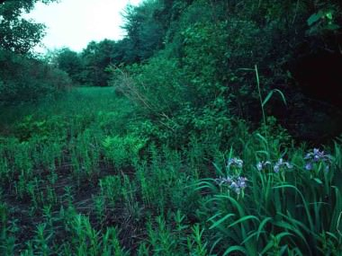 Blue Flag Fowl Meadow051494