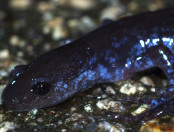 Blue-spotted Salamander on Hemenway Drive, but Randy Scott.