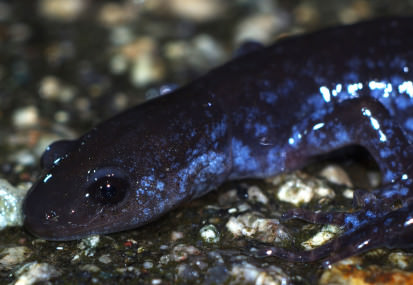 Blue-spotted Salamander on Hemenway Drive, by Randy Scott.