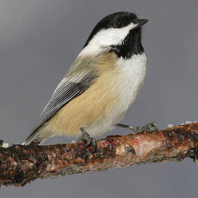 black capped chickadee for web
