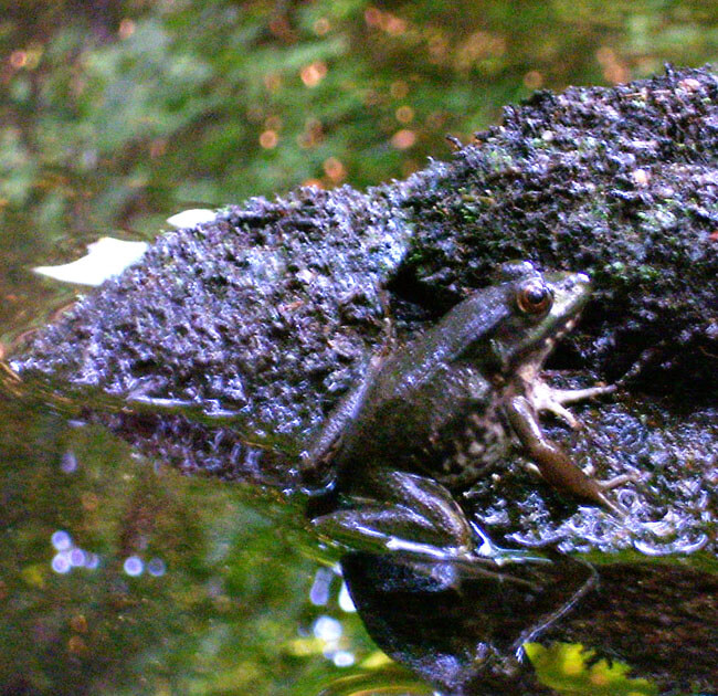 A frog spotted near our water testing station on Stoughton's Steep Hill Brook