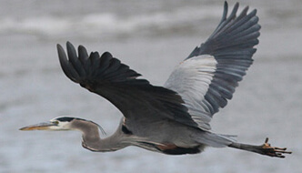 Great Blue Heron Stephen Baird photo