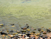cyanobacteria_TomPalmer_Lake Champlain2016