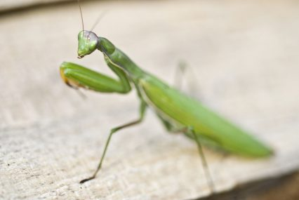 Praying mantis. Tim Santimore/Photolibrary/Getty Images